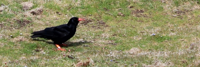 08 chough on the cliff in Anglesey, Ruth Livingstone