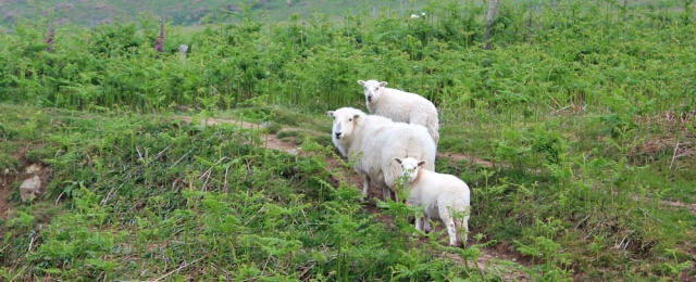 09 sheep on the path, Ruth hiking in Anglesey