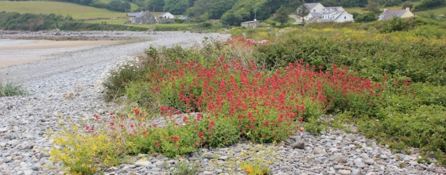 13 shingle bank with flowers, Llanddona, Ruth's coastal walk, Anglesey