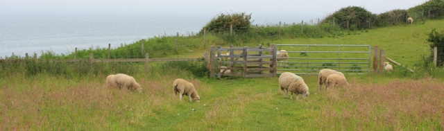 15 sheep grazing, Ruth Livingstone trekking on Anglesey