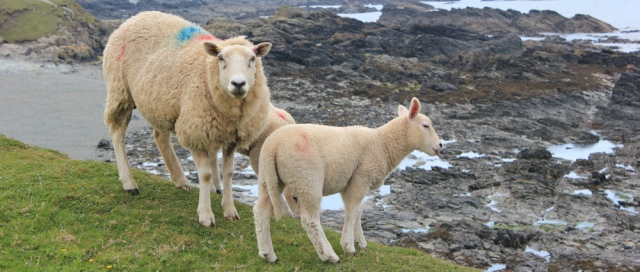 19 Welsh Sheep, Ruth walking the coast of Anglesey