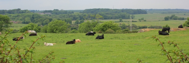 22 fields of cows, Allt Goch Bach, Isle of Anglesey Coast Path, Ruth hiking in Wales