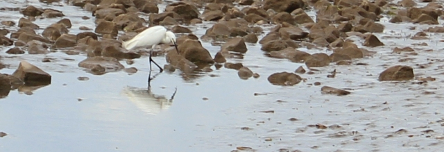 03 an egret, Ruth's coastal walk, North Wales Coast