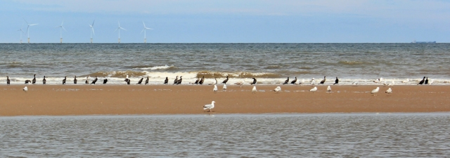 08 cormorants and seagulls, Ruth Livingstone hiking the beach