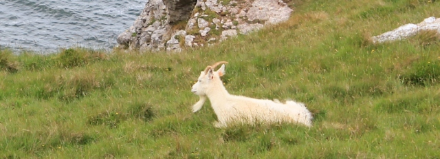 15 white goats on the Great Orme, Ruth on the Wales Coast Path