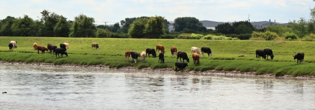 20 cows on the River Dee, Ruth Livingstone