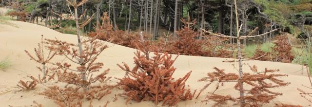 02 dead pine trees, Formby, Ruth's coastal walk, England