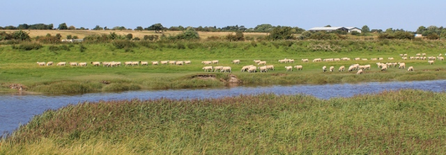 09 sheep across the river, Ruth's coastal walk, Lanashire