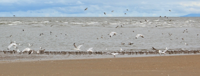 13 birds on Birkdale Sands, Southport, Ruth's coastal walk