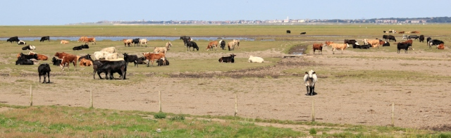 14 cows in marshes, Ruth hiking the Ribble estuary