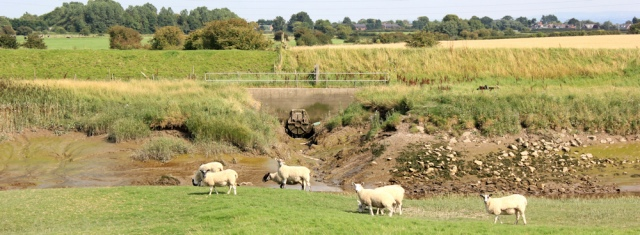25 sheep on river bank, Ruth's coastal walk to Hesketh