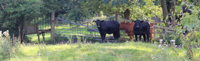 30 cows, Ruth's walk to Tarleton, River Asland or Douglas