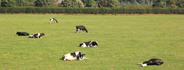 03-dopey-cows-ruths-coastal-walk-lancashire