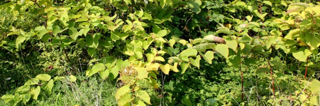 06-japanese-knotweed-ruths-coastal-walk-lytham