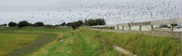 07-starlings-over-bank-houses-caravan-park-ruth-walking-the-english-coast