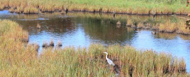 28-heron-on-aldcliffe-marsh-ruth-hiking-the-river-lune