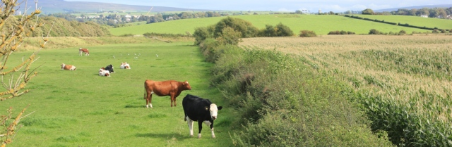 32-cows-in-fields-ruth-hiking-the-lancashire-coastal-way