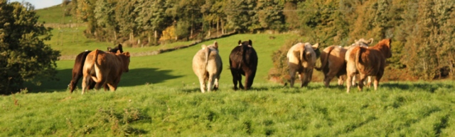 04-bullocks-running-away