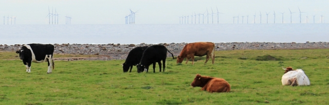 16-cows-and-windfarms-ruth-hiking-around-walney-island-morecambe-bay