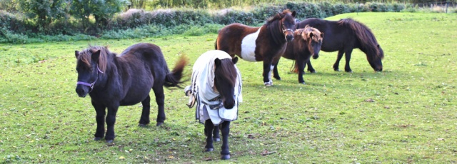 23-shetland-ponies-ruth-livingstone-walking-the-english-coast