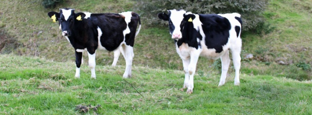 25-young-bullocks-ruth-walking-the-english-coast-cumbria