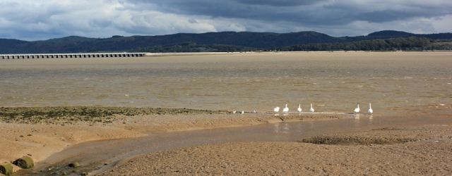 29-swans-and-viaduct-ruth-hiking-down-the-leven-estuary