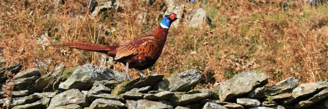 30-pheasant-bigland-hall-ruth-walking-the-english-coast-cumbria