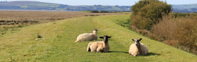 30-sheep-on-old-embankment-ruth-walking-the-english-coast