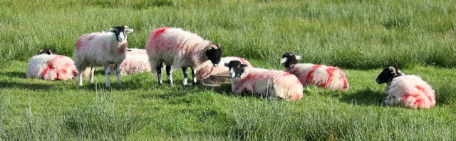 16-pink-rinse-sheep-ruth-livingstone-walking-the-english-coast-cumbria