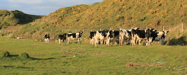 33-cows-on-hyton-marsh-ruth-hiking-in-cumbria