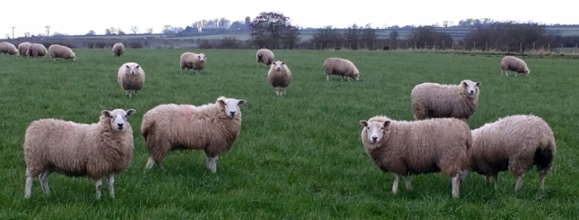 06-sheep-newton-arlosh-ruth-walking-the-coast-of-cumbria