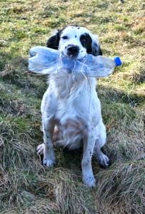 07-playful-springer-spaniel-ruths-coastal-walk-whitehaven-cumbria