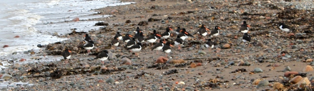 11-oyster-catchers-ruth-walking-the-english-coast-cumbria