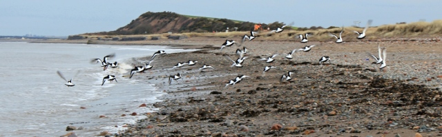 12-oyster-catchers-taking-off-ruth-hiking-the-english-coast-cumbria