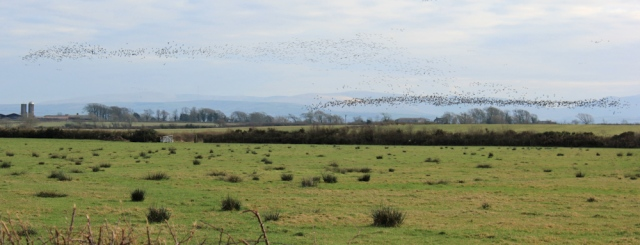 a18-mistaken-murmurations-ruth-livingstone-walking-the-english-coast-cumbria