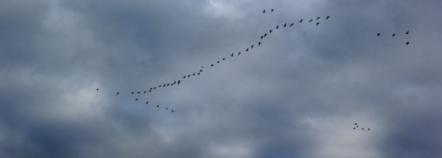 a24-flying-geese-ruth-livingstone-walking-the-english-coast-cumbria