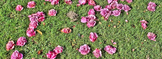 19 fallen petals, Ruth Livingstone in Cumbria