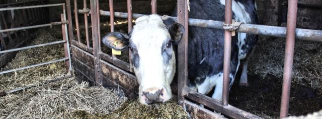 21 cow, Ruth Livingstone