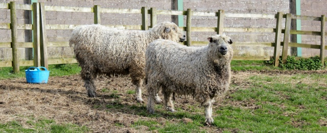 29 shaggy sheep, Demesne, Ruth Livingstone hiking towards Gretna up the River Eden - Copy
