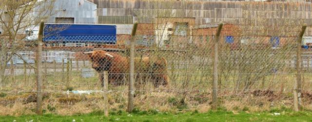 07 bull in field near 'Works' Annandale Way, Ruth Livingstone