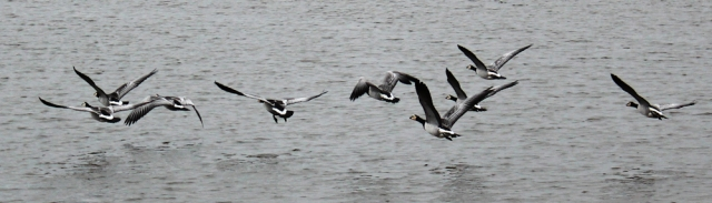 07 flying geese, River Nith, Ruth hiking to Dumfries, Scotland