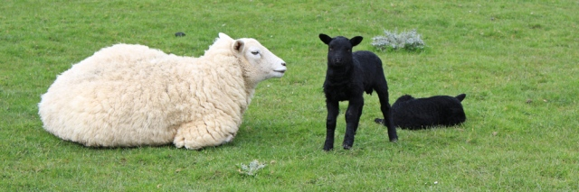 16 white sheep and black lambs, Ruth's coastal walk, Dumfries and Galloway
