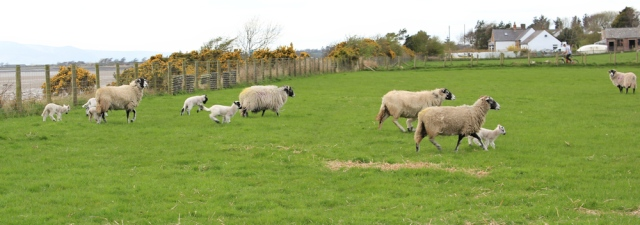 23 stampeding sheep, Ruth Livingstone