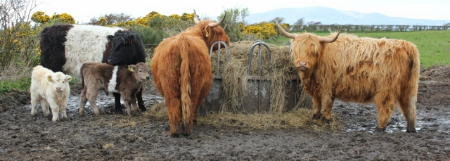 26 muddy cows, Ruth's coastal walk, Dumfries and Galloway