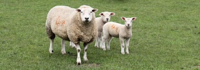 28 sheep, Ruth's coastal walk, Dumfries and Galloway