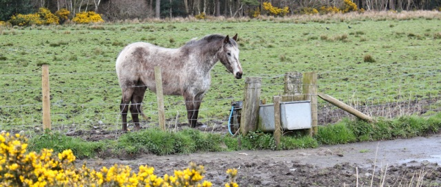 29 horses, Ruth's coastal walk, Dumfries and Galloway