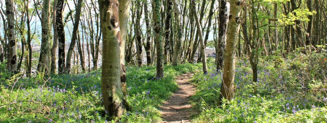 08 bluebell woods, Ruth hiking from Garlieston to Isle of Whithorn, Scotland