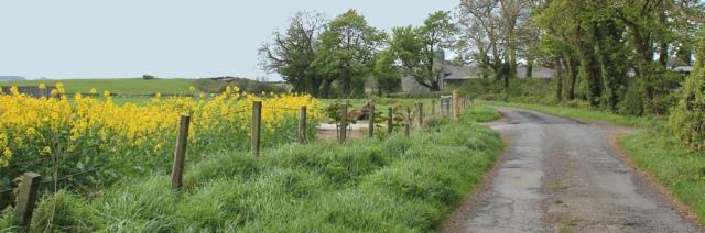 09 rape fields, near Wigtown, 02 naughty goats, Ruth's coastal walk, Southwest Scotland