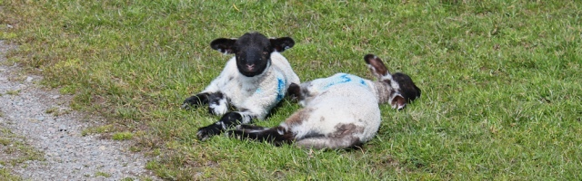 12 sleeping lambs, Ruth's coastal walk Dumfries and Galloway