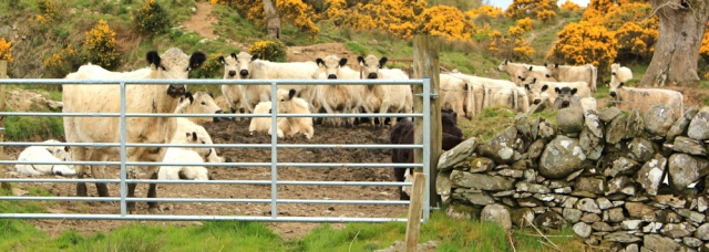 13 British White cows, on old military road, Ardwall deer park, Ruth Livingstone